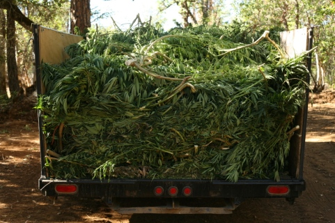 A truckload of Angie's recently abated marijuana plants, awaiting a burial.